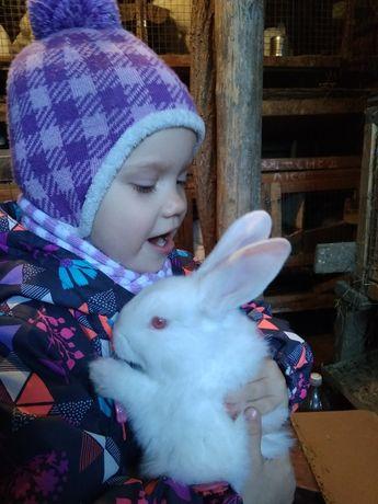 Кролики м'ясної породи Білий паннон