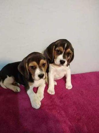 Beagle suczki szczenięta