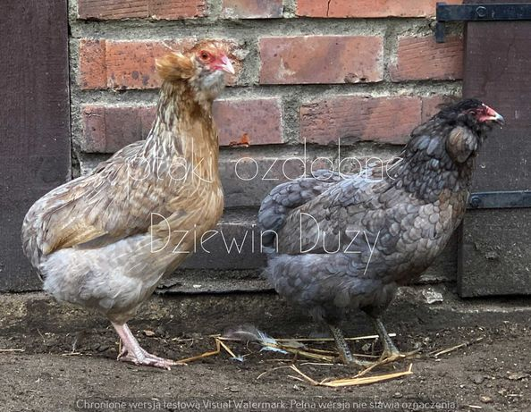 araucany araucana kury z pejsami i brodą młode 2020