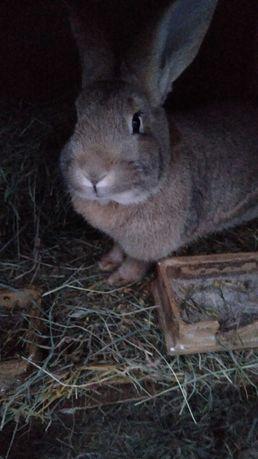 Sprzedam króliki samice samce