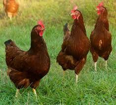 Kury nioski mlode kurki piękne już z jajkiem z wybiegu z dowozem!!
