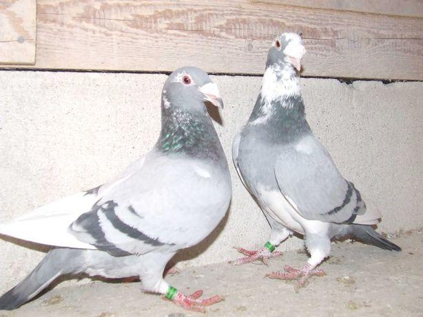 Gołąbki od Mariana nr 30 - gołębie staropolskie