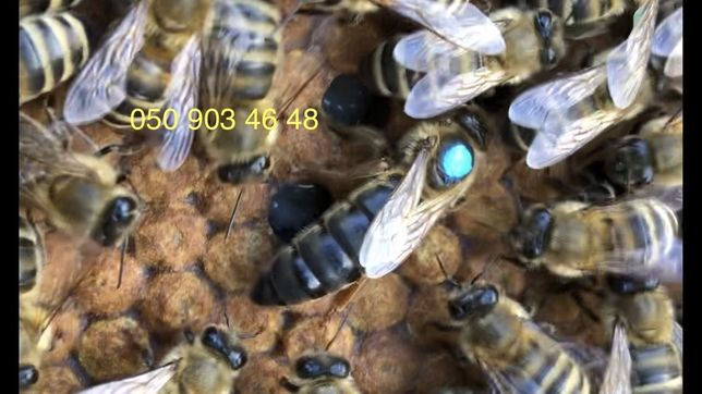 Матка Карпатка 2020, бджоломатка, (Бджолопакети 2020)