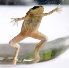 Żabka ( karlik szponiasty )