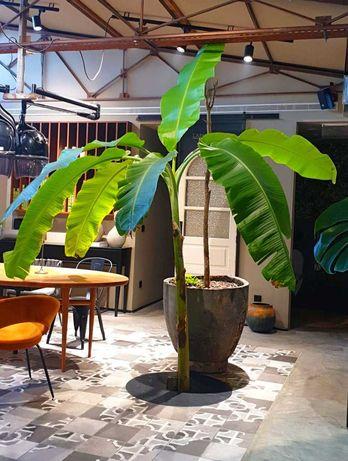 Bananeiras para jardim e para vasos