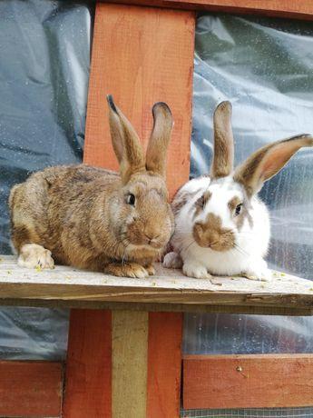 Królik króliki samce mieszance belg srokacz