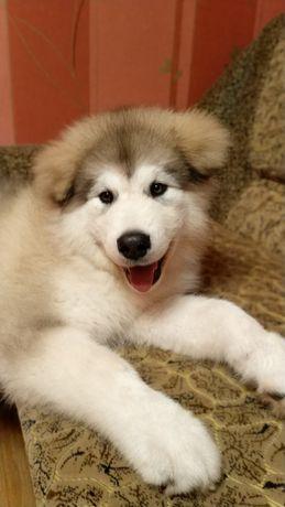 Нереальная красотка щенок Аляскинский маламут