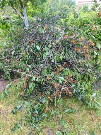Ветки вишни. Фруктовое дерево
