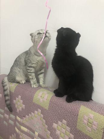 Шиншилловые котятки скотиш фолд мальчики