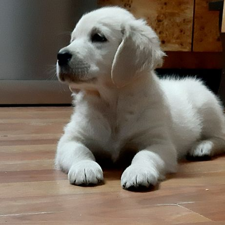 Golden Retriever -pieski