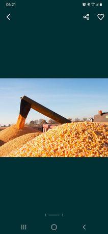 Koszenie kukurydzy na ziarno. Uslugi Rolnicze