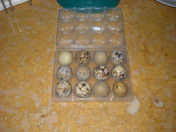 duzia de ovos de codorniz