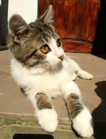 Ніжне котеня з браслетиками! Хлопчик 3 міс.