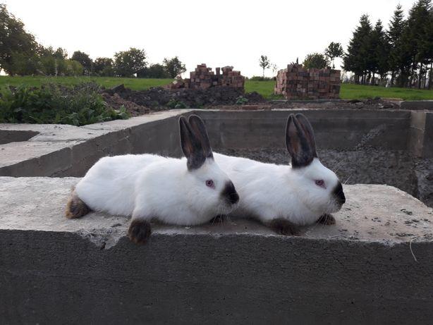 каліф. кролики. самчик