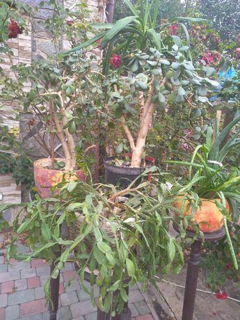Панданус,лилия.фикус рождественник,тещин язык,виноград,денежное дерево