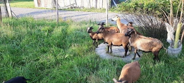 Owce kameruńskie likwidacja gospodarstwa