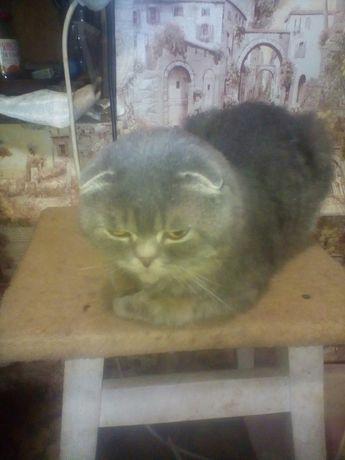 Шотландский кот.