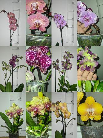 Сортовые орхидеи в наличии