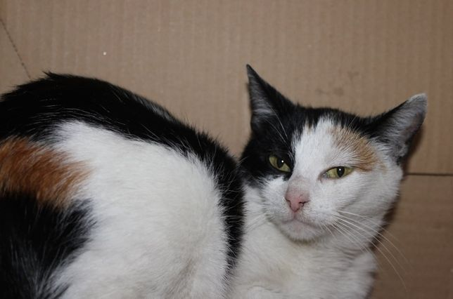 Piękna kotka trikolor Bettina czeka na dom