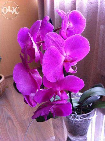 Орхидеи дешево