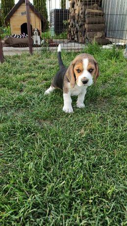 Szczeniak rasy  beagle
