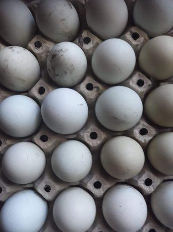 Jaja legowe kurze zielone