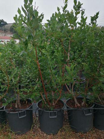 Plantas mirtilo em vaso - 5 anos _ Pack 10 un