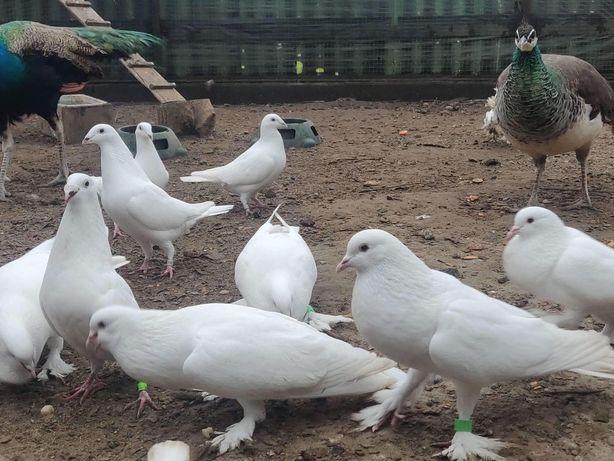 Białe garłacze angielskie i gołębie pocztowe