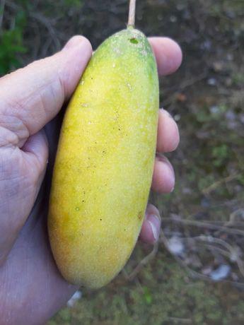 Plantas Maracujá Banana