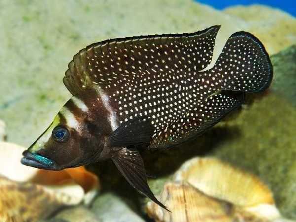 Altolamprologus calvus Black Pectoral Lupota