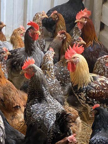 Galos e galinhas.