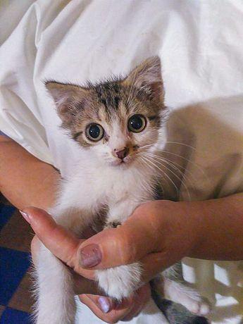 Нежный котёночек Кнопик (2 месяца) СРОЧНО в добрые ручки!