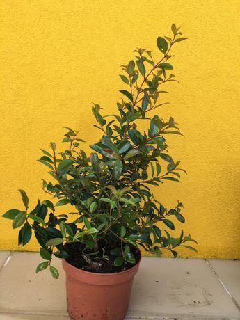 Eugenia myrtifolia com 50 cm altura Sebe