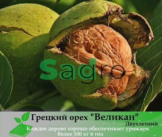 Грецкий Орех Великан 3-х летний, купить Саженец ореха