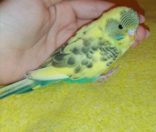 Ручной попугайчик, девочка