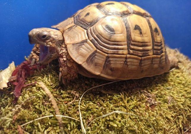 Греческая черепаха