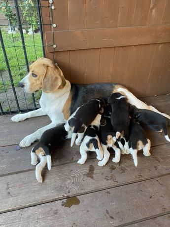 Szczeniaki Beagle Tri-color