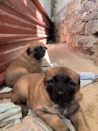 Cães serra da estrela