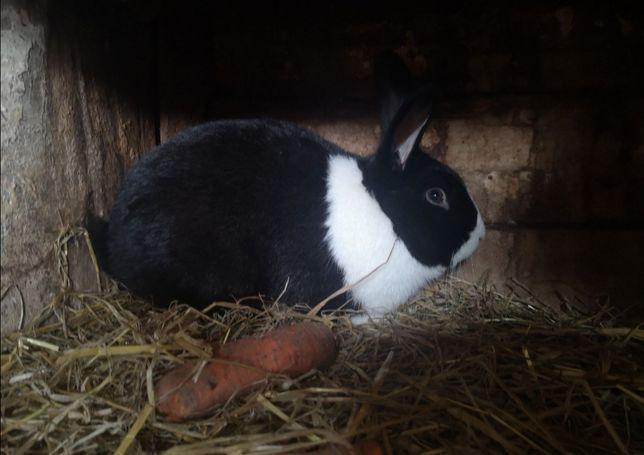Dorosły samiec królik hodowlany duży do krycia
