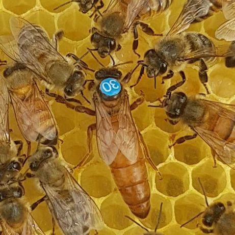 Matki pszczele Włoszka (Ligustica)