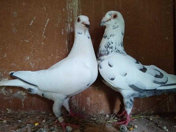 Gołębie pocztowe Ludo claessens vangramberen młode