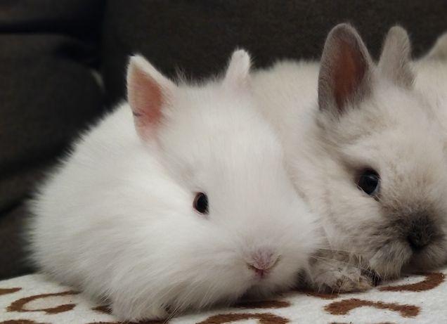Декоративні кролики, залишилося 2
