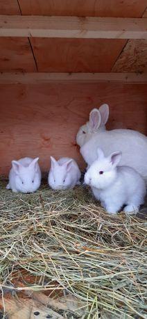 Кролики  новозеландцы белые,красные