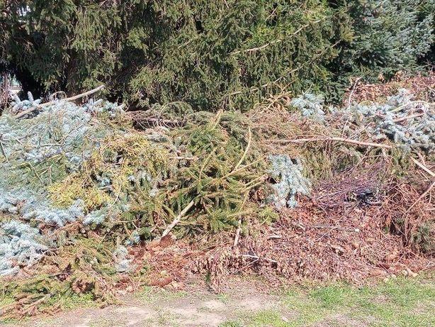Gałęzie po ścince brzozy i sosny