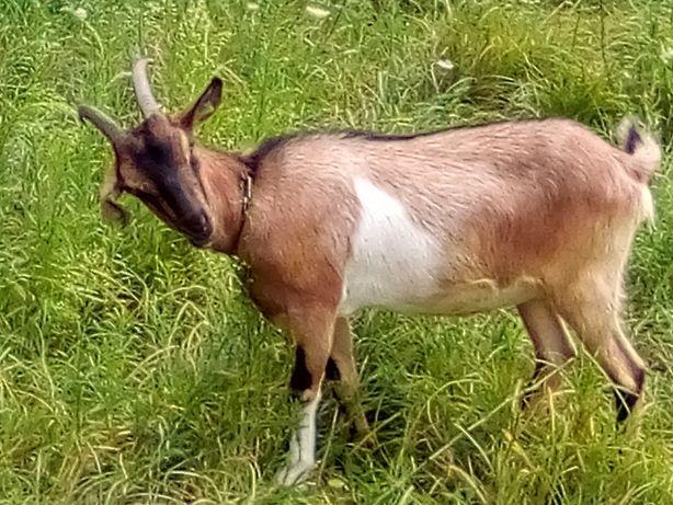 Продаю козу  афигену