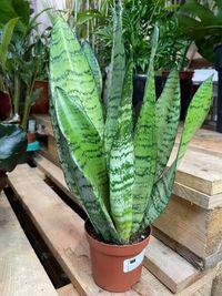 Sansevieria zeylanica WYSYŁKA roślina doniczkowa
