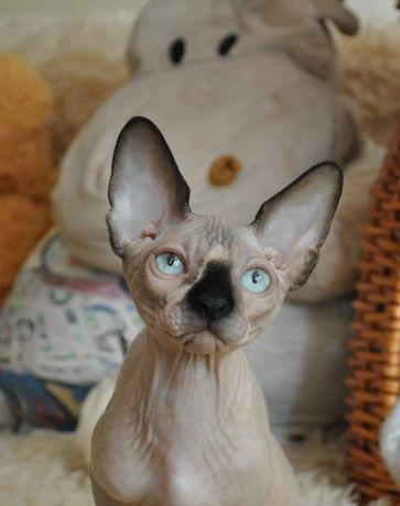 Котик сфинкс супер ласковый