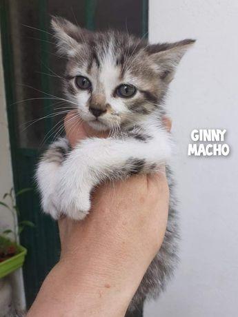 Ginny- gatinho bebé para adoção