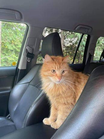 Zaginął rudy kot