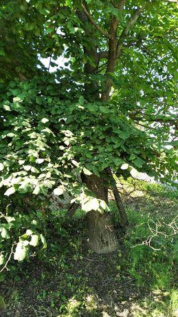 Drzewa orzech włoski oddam za darmo